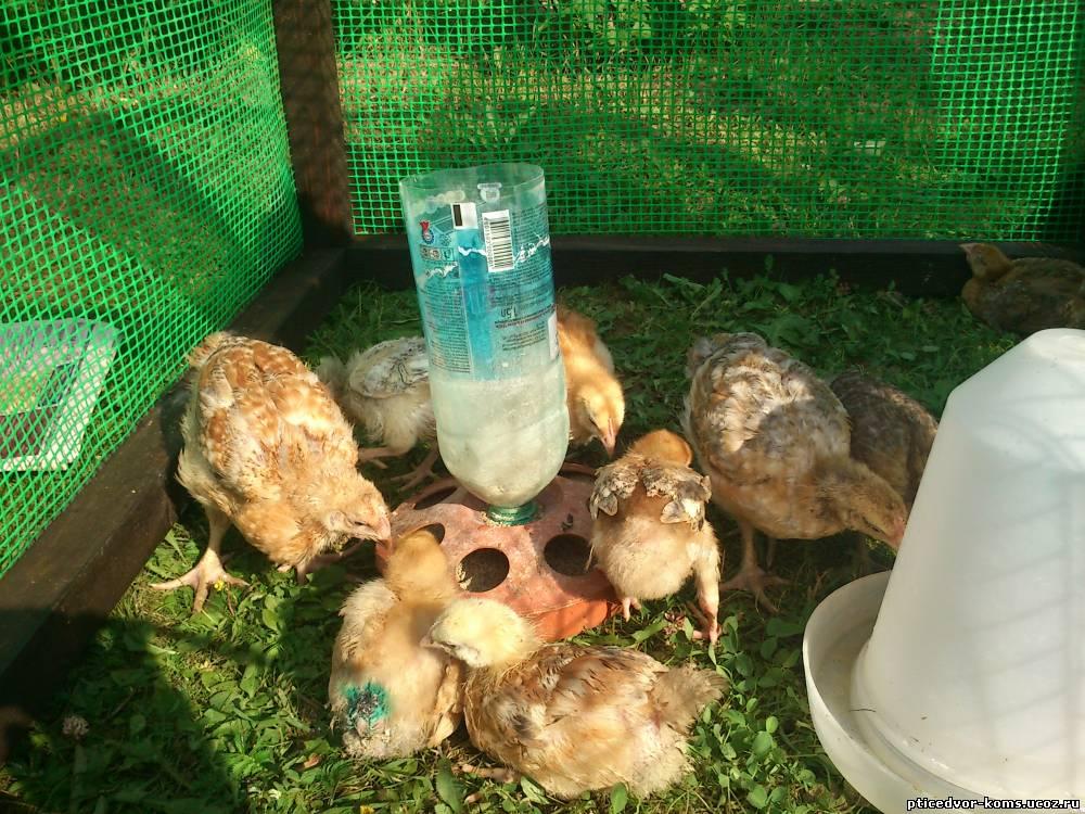 Выращивание и кормление цыплят бройлеров в домашних условиях