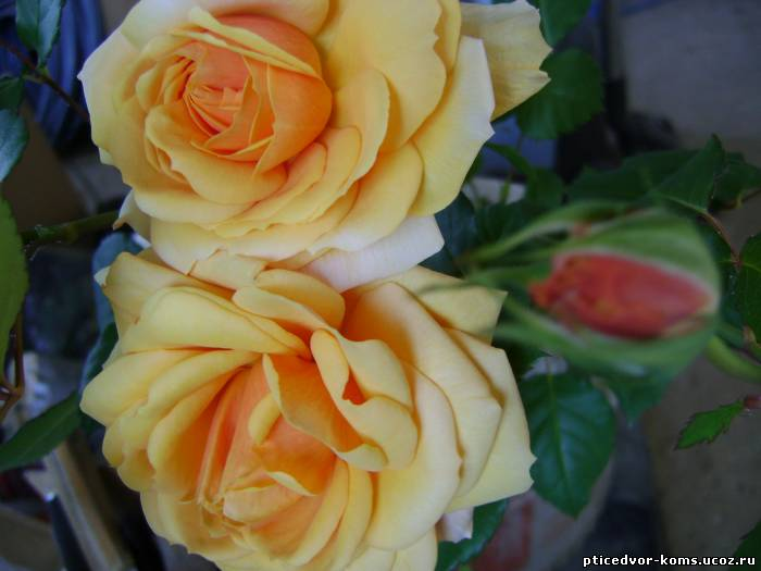 виды роза комнатная уход в домашних условиях фото